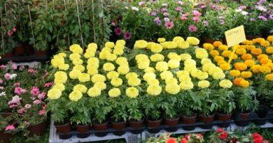 Γιορτή λουλουδιών στην Ηλιούπολη στις 19-4 Νοεμβρίου – Θα βρείτε τις καλύτερες τιμές