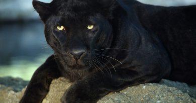 Αττικό Ζωολογικό Πάρκο: Σκότωσαν 2 ιαγουάρους που δραπέτευσαν από τα κλουβιά