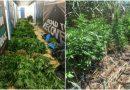 Βρήκαν φυτείες με χασίς στην Αρτέμιδα (VIDEO&ΕΙΚΟΝΕΣ)