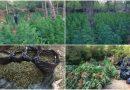 Eντοπίστηκε τεράστια φυτεία χασίς στα Βίλια Αττικής – Θα έβγαζαν 1.700.000ευρώ! (VIDEO&ΕΙΚΟΝΕΣ)