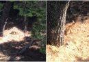 Πεινασμένη αλεπού ψάχνει για φαγητό στη Βουλιαγμένη (VIDEO)