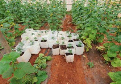 To «λαβράκι» της ΕΛΑΣ με τα 3.250 δενδρύλλια κάνναβης ήταν νόμιμη καλλιέργεια!